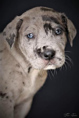 Great Dane Registered Puppies