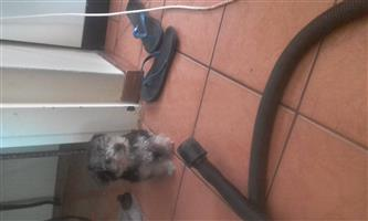 male teacup  yorkie pup for sale for R1500