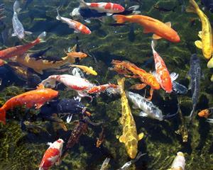 Koi Pond Filtration System for sale