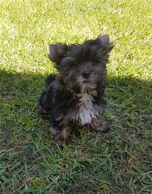 Gorgeous Small size Yorkie puppy