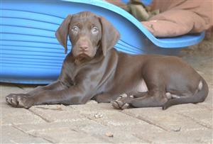 GSP(German Short Hair) Puppies for Sale