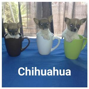 Teacup chihuahua male pups