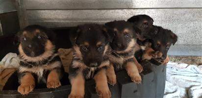 Beautifull German Shepard Puppies