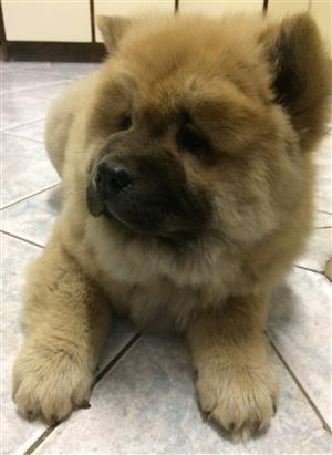 Chow Chow Female Puppy