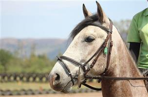 BOMBPROOF GELDING FOR SALE