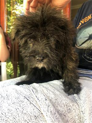 Bouvier des Flandres. Pure bred puppies available