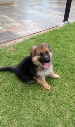 LONG COAT GERMAN SHEPHERD PUPPY WITH KENNEL AND OTHER ACCESSORIES FOR URGENT SALE FOR R4500 (NEG)