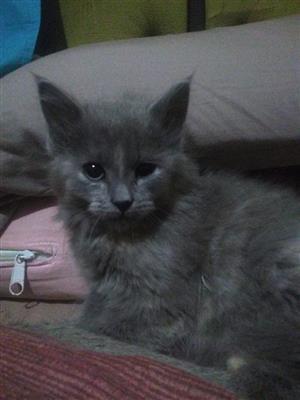 Maincoons kittens