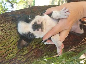 boston terrier babies for sale