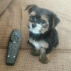 Teacup yorkshire terrier boy