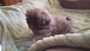 Pekingese Male Puppies