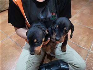 Duschund Min Pin cross