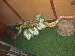 2 adult corn Snakes, 3 Enclosures & an incubator