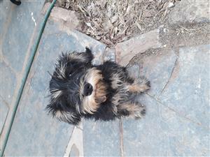 Miniature Schnauzer Salt & Pepper Female Puppy