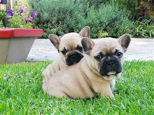 French bulldog male puppy available