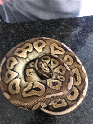 Beautiful Pastel Cinnamon Ball Python