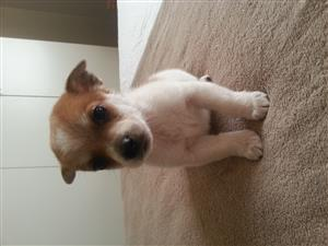 Toypom X Jack Russell puppies