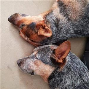 Purebred Australian Cattle dog Puppies