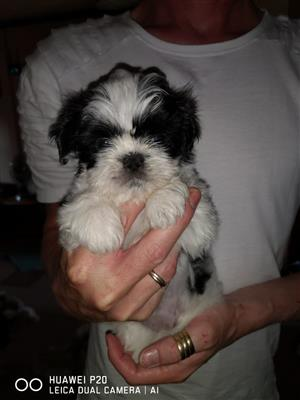 2 Adorable Shih Tzu girls available