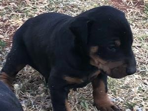 Doberman puppies (Large breed)