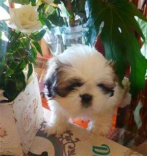 Pedigree Shih Tzu Puppies Available