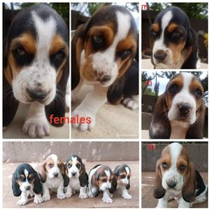 """Basset hound puppies - tricolour-"""