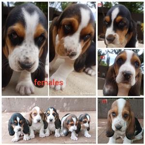 """""""Basset hound puppies - tricolour-"""""""