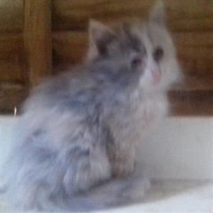 Ragdoll baby kittens