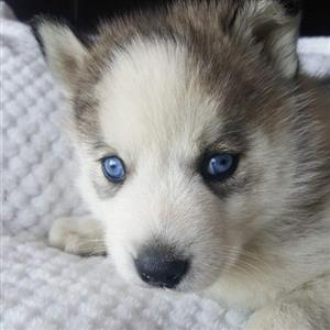 seberian huskey male puppy