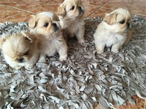 Pekingese Puppies - 8 weeks old