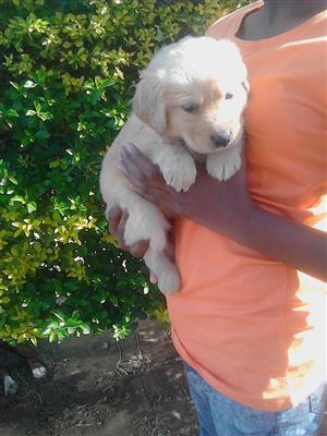 purebred  retriever female puppy