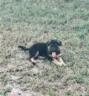 Purebred German shepherd puppies for sale.