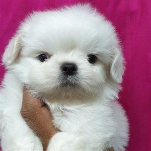 Pekingese puppies for sale.Miniatures