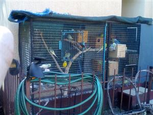 Budgies for sale plus cage