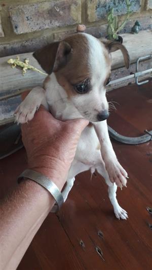 Beautiful Doberman puppies for sale