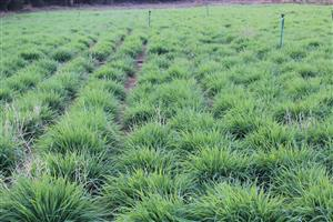 Russian grass tuffs for sale