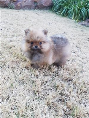 Female Toypom Puppy