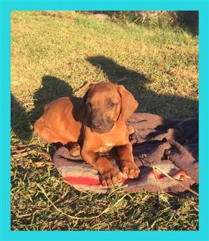 Pure bred Rhodesian Ridgeback puppies