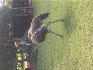 Young African Black Ostriches for sale