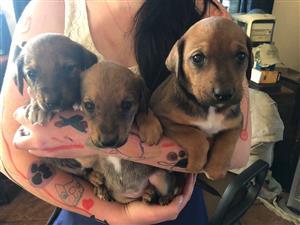 Ridgeback cross border collie puppies