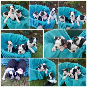 Boston Terrier female pup
