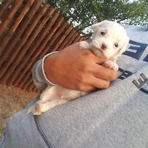 Mini Maltese poodle puppies