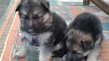 German Shepherd Puppies Long Hair 9 weeks old