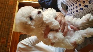 Male Maltese Pups for Sale