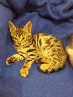 Bengal Kitten Silver Male for Sale.