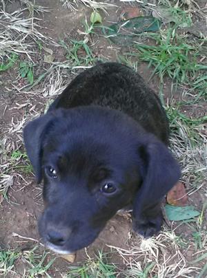 Labrador pups black