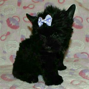 Coal black yorkie female puppy