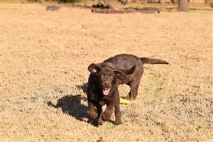 KUSA Chocolate Labradors