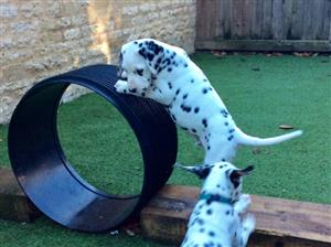 Beautiful Dalmatian Puppies for sale .