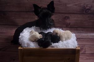 Wheaten Scottish Terrier Pups For Sale
